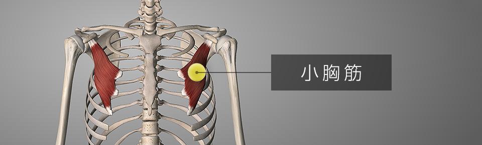 テニスボールで「小胸筋」をマッサージする方法
