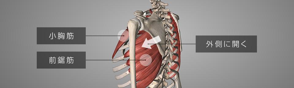 小胸筋・前鋸筋が硬くなると肩甲骨が外側に開く