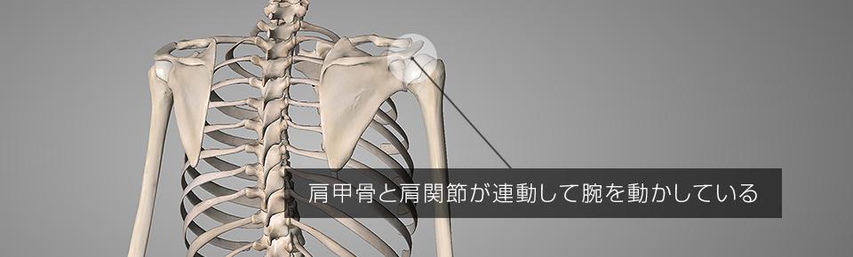 肩甲骨と肩関節が連動して腕を動かしている