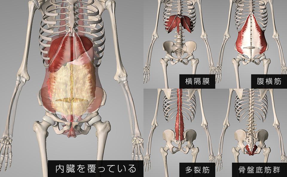 横隔膜・腹横筋・多裂筋・骨盤底筋群