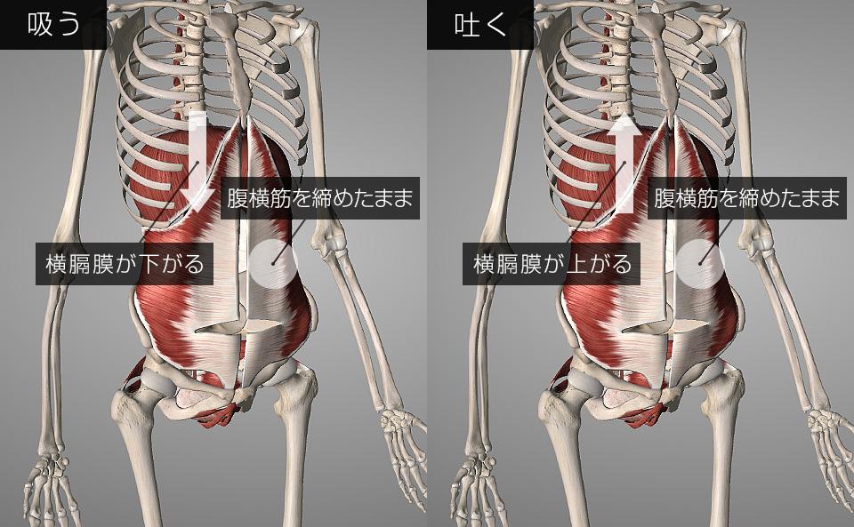 呼吸時の横隔膜・腹横筋の動き