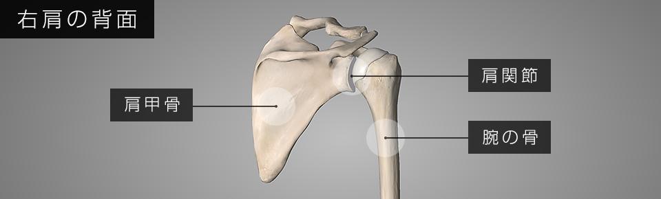 肩甲骨と肩関節が連動して腕が動いている