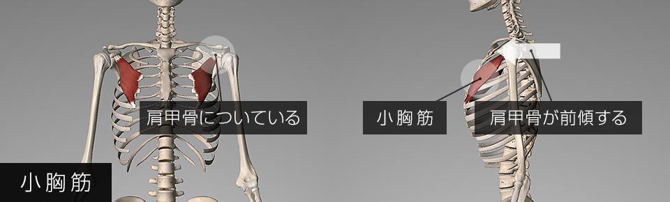 小胸筋が硬くなると肩甲骨が前傾しやすくなる