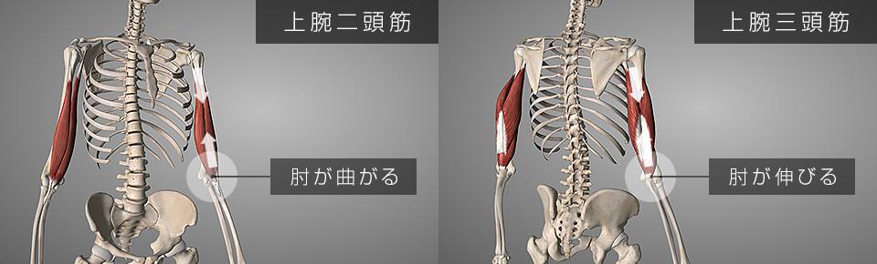 上腕二頭筋と上腕三頭筋が伸び縮みすると肘の曲げ伸ばしができる