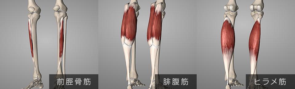 前脛骨筋・腓腹筋・ヒラメ