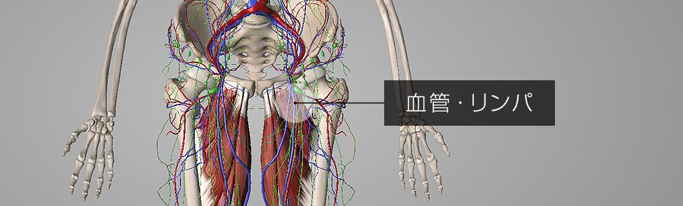股関節まわりには太い血管やリンパがたくさんある