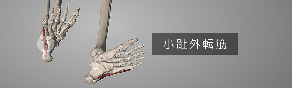 小指外転筋 = しょうしがいてんきん