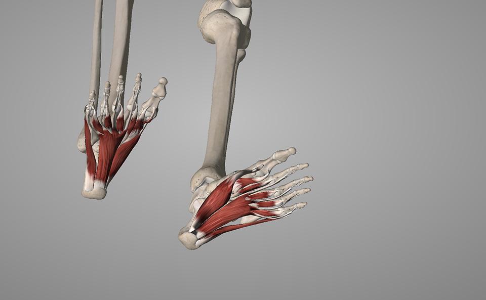 足裏のアーチが崩れる原因と筋肉について