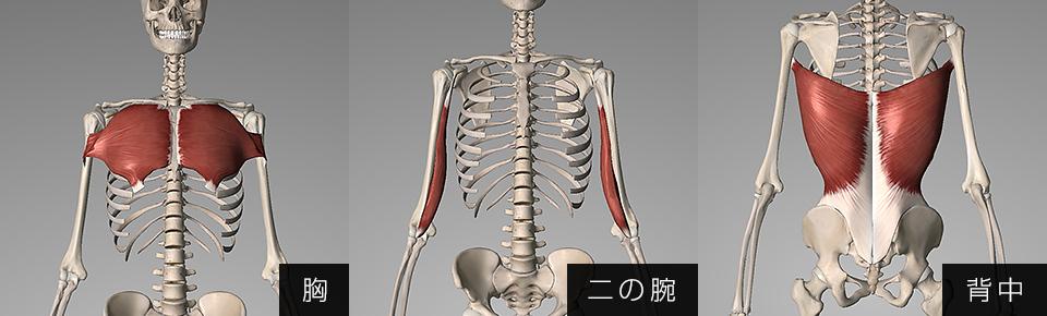 胸・二の腕・背中の筋肉