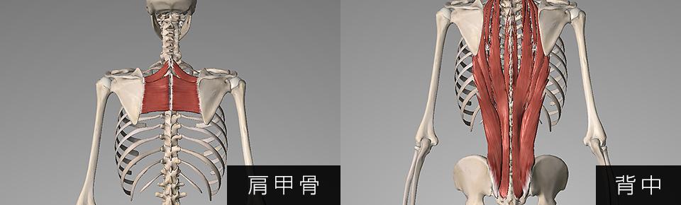 肩甲骨・背中の筋肉