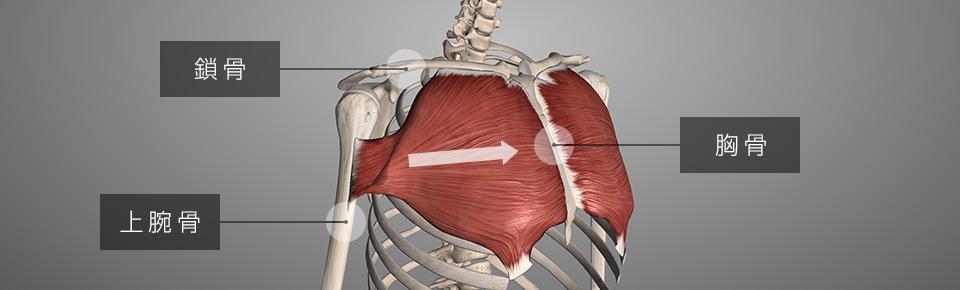 胸の表面にある大きな筋肉