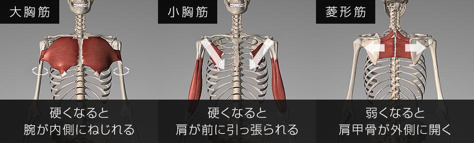 大胸筋・小胸筋・菱形筋が硬くなると巻き肩になる