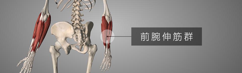 前腕伸筋群 = ぜんわんしんきんぐん