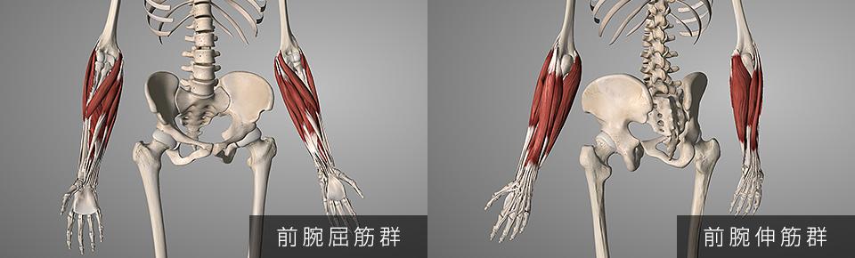 前腕屈筋群・前腕伸筋群
