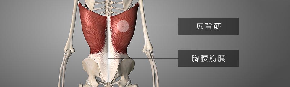 広背筋・胸腰筋膜