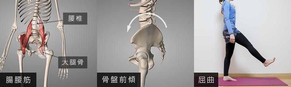 腸腰筋「骨盤前傾」「股関節の屈曲」