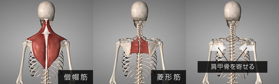 菱形筋と僧帽筋は肩甲骨を左右に寄せる働きを持っている